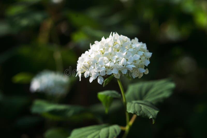 Biała hortensja z zielonymi liśćmi zdjęcie royalty free