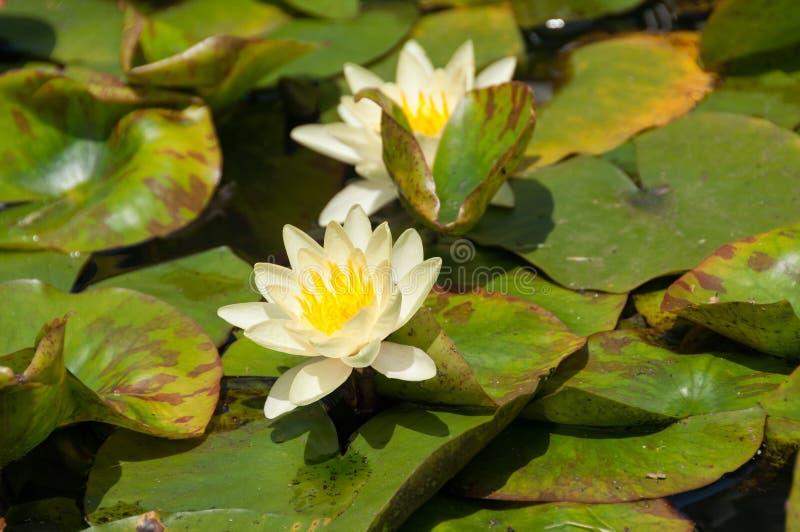 Biała i żółta kwitnąca wodna leluja, lotosowi kwiaty w stawie obraz stock