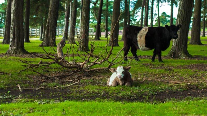 Biała i brown łydkowa krowa z czarny i biały krową fotografia stock