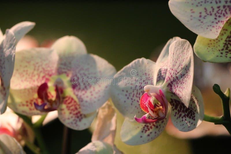 Biała i Purpurowa orchidea zdjęcie stock