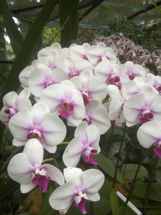 Biała i różowa Hybrydowa Phalaenopsis orchidea fotografia stock