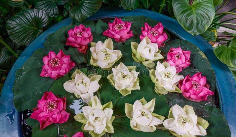 Biała i różowa lotosowego kwiatu dekoracja obraz stock