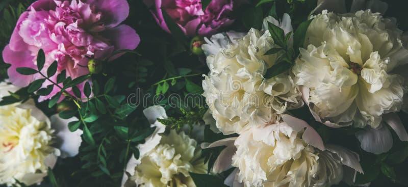 Biała i różowa peonia kwitnie nad ciemnym tłem Naturalny wzór zdjęcia stock