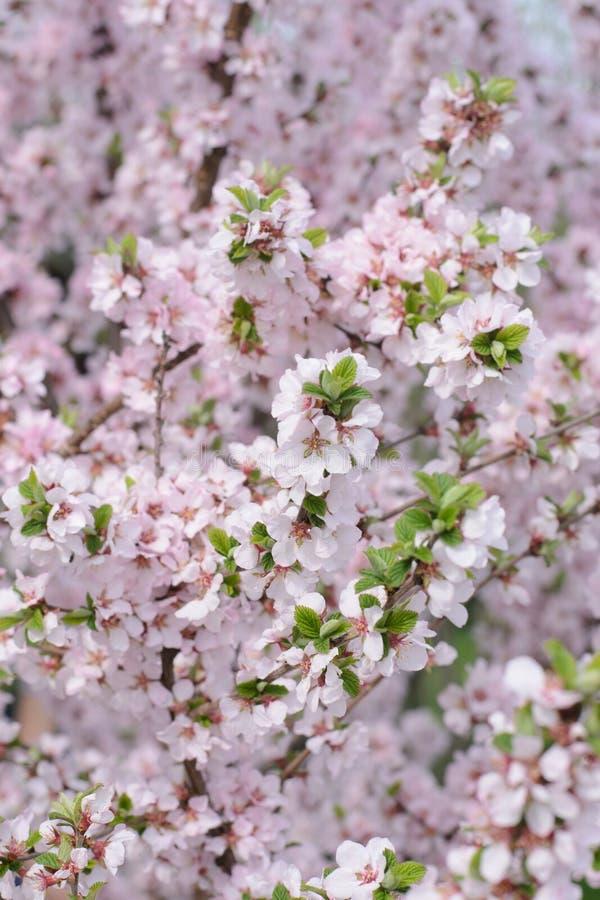 Biała i różowa wiśnia kwitnie na gałąź fotografia stock