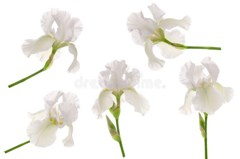 Biała irysowa kwiat głowa na trzonie odizolowywającym na białym tle Set lub kolekcja dla kwiecistego projekta ogrodowy pakowa obrazy royalty free