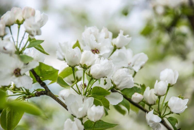 Biała jabłoń kwitnie zbliżenie Kwitnąć kwitnie w wiośnie obrazy stock