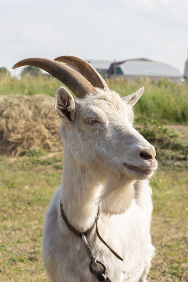 Biała kózka z rogami i broda, portreta profil w górę Średniorolna kózka na łąkowym, pięknym kózka profilu, obraz stock