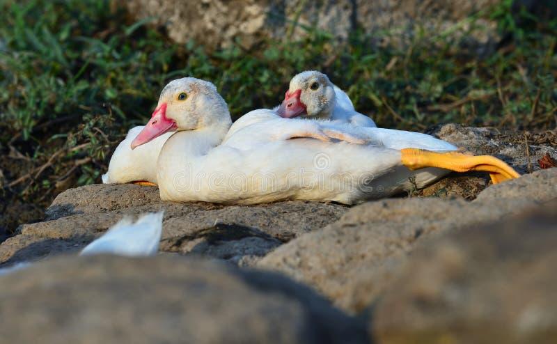 Biała kaczka na skale obraz royalty free
