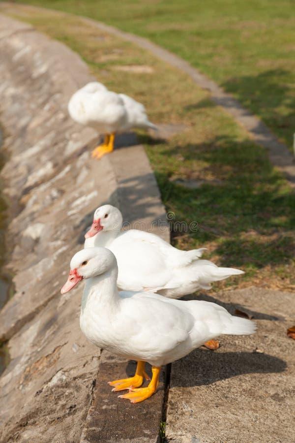 Biała kaczka w ogródzie obrazy royalty free