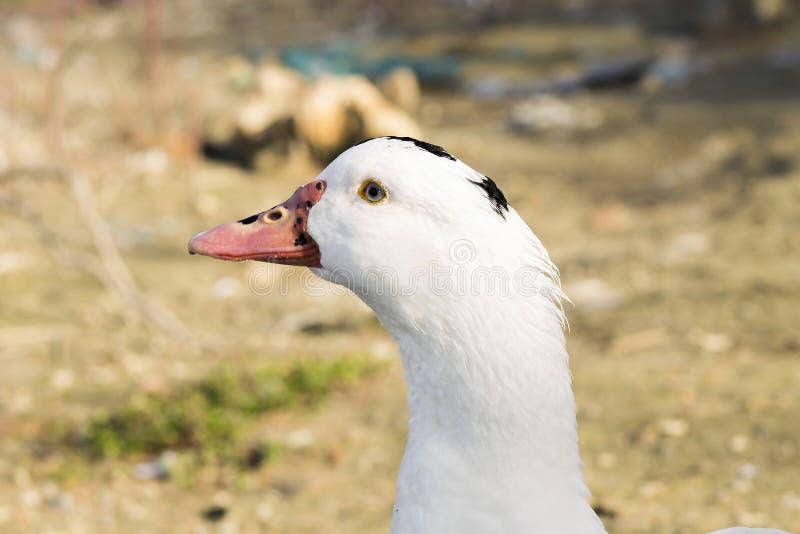 Biała kaczka z czarnymi punktami zdjęcie royalty free