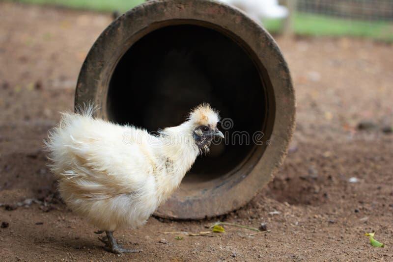Bia?a karmazynka na polu Kurczak?w broilers w farma drobiu, zako?czenie w g?r? fotografia royalty free