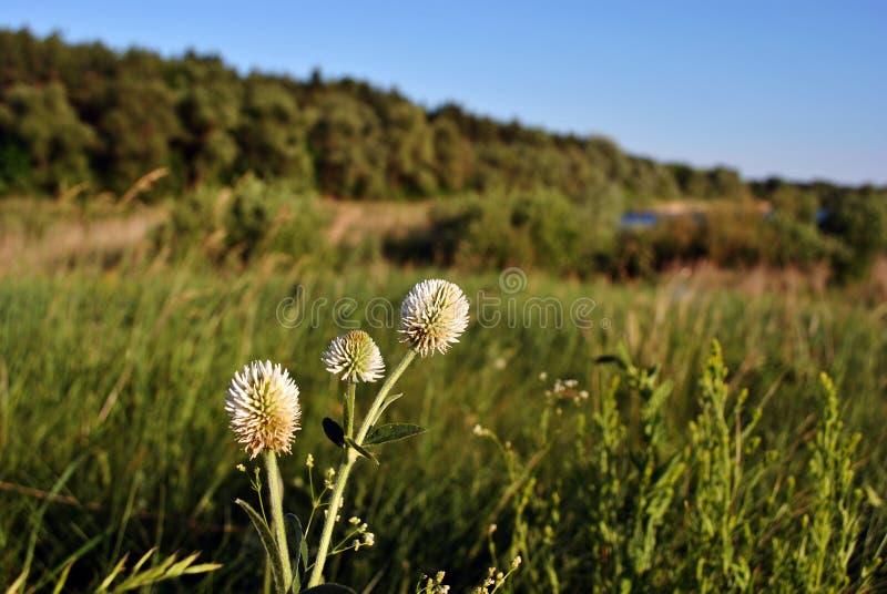 Biała koniczyna kwitnie na wzgórzu z zieloną trawą, lasem i niebieskim niebem, fotografia royalty free