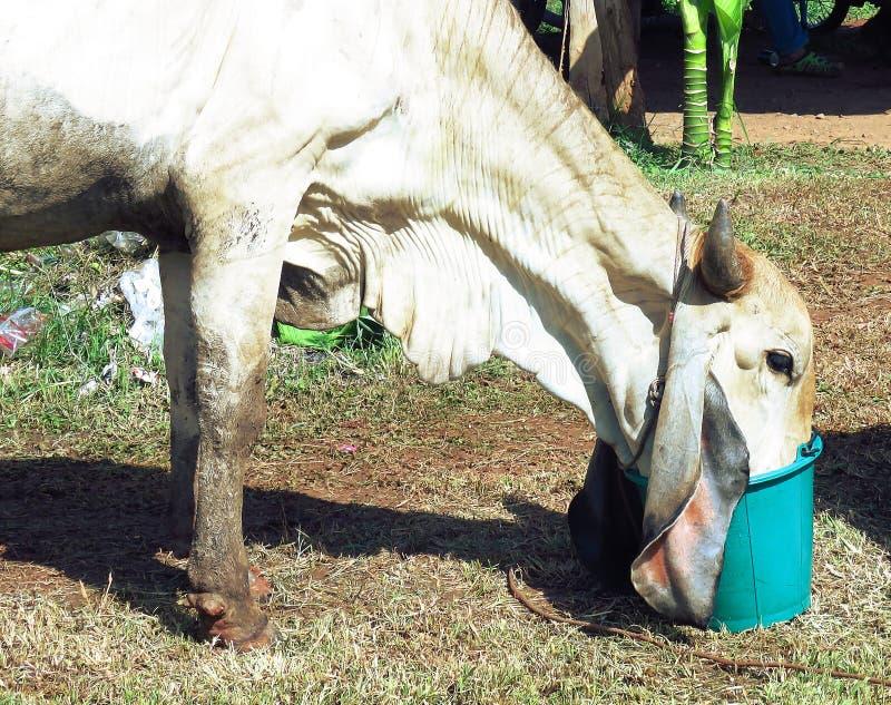 Biała krowy woda pitna głodna /Farmer ` s bydło zdjęcia stock