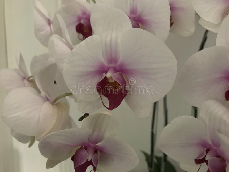 Biała księżyc orchidea strzelająca w górę jak zdjęcie stock