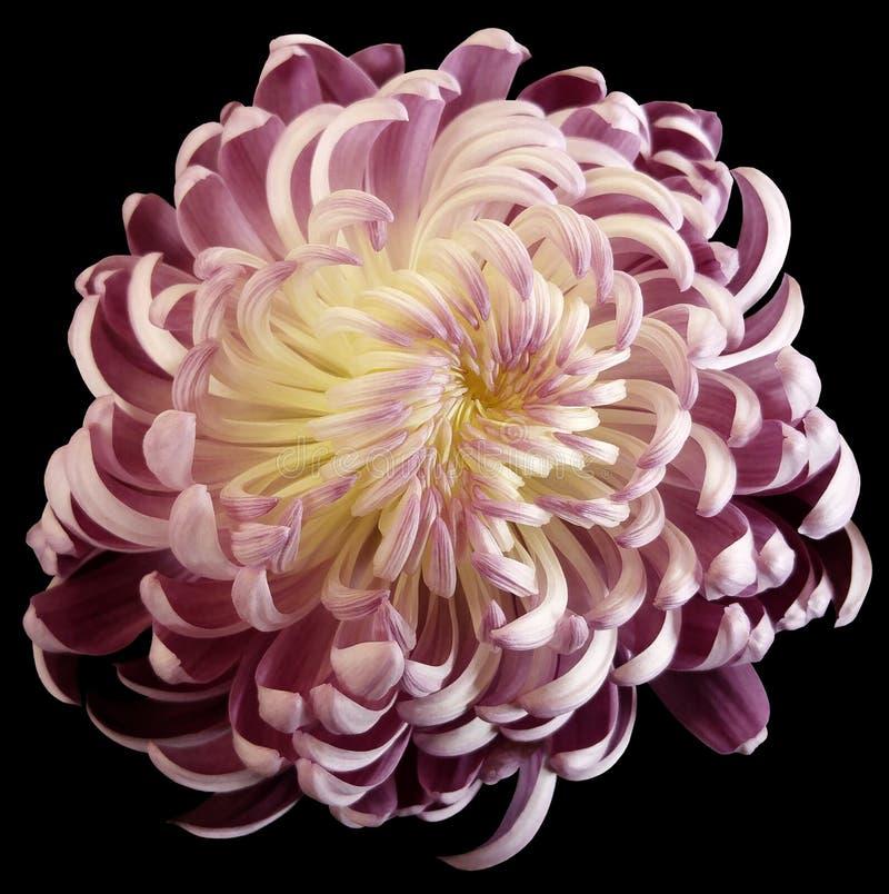 Biała kwiat chryzantema Motley ogródu kwiat czerni odosobnionego tło z ścinek ścieżką żadny cienie zbliżenie zdjęcie royalty free