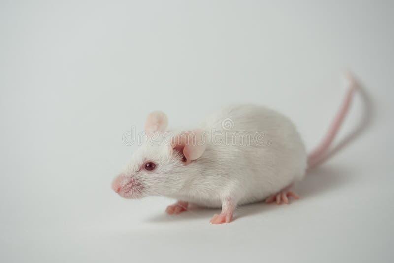 Biała laborancka mysz na białym tle fotografia royalty free