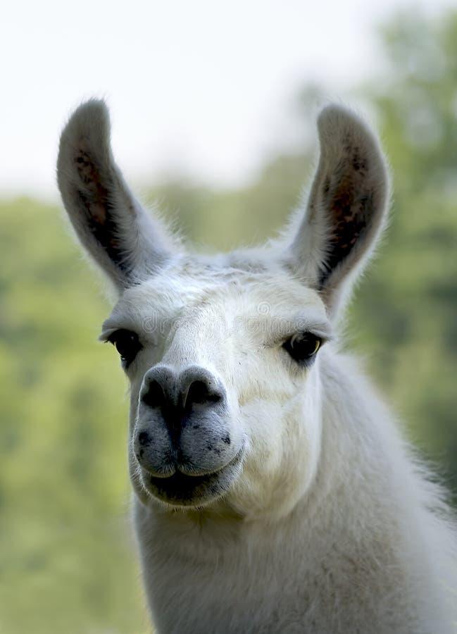 Biała lama obraz royalty free