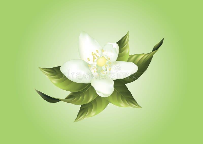 Biały cytryna kwiat ilustracja wektor