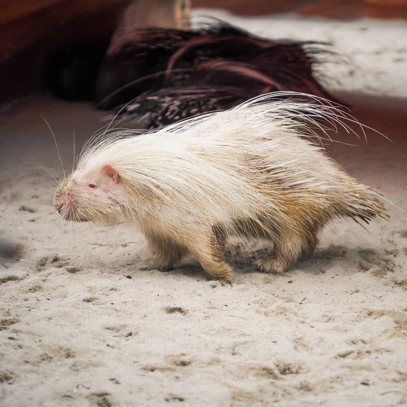 Biała malayan jeżatki pozycja na podłoga zdjęcie stock