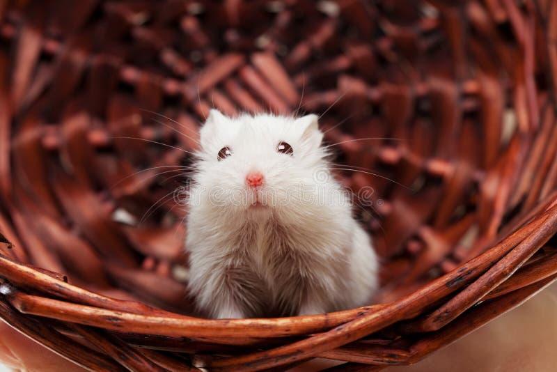 Biała mysz w koszu zdjęcia royalty free