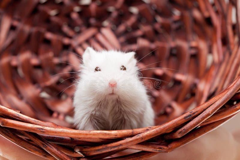 Biała mysz w koszu zdjęcie royalty free