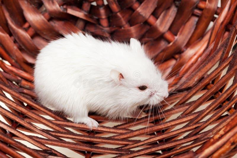 Biała mysz w koszu zdjęcie stock