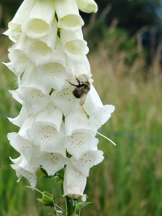 Biała naparstnica w angielskiej łące z pszczołą obrazy royalty free