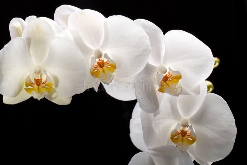Biała orchidea zdjęcia stock