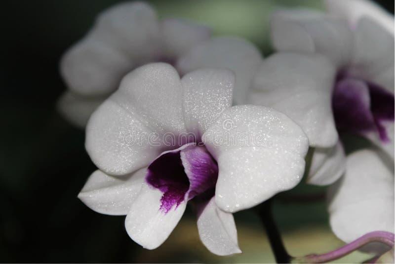 Biała orchidea, dzika orchidea zdjęcie royalty free