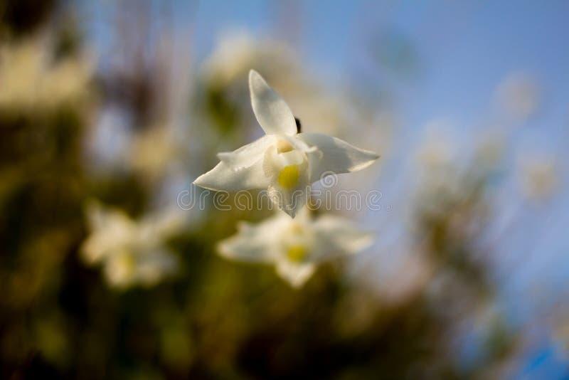 Biała orchidea kwitnie w niebieskim niebie w Phuket Tajlandia zdjęcie royalty free