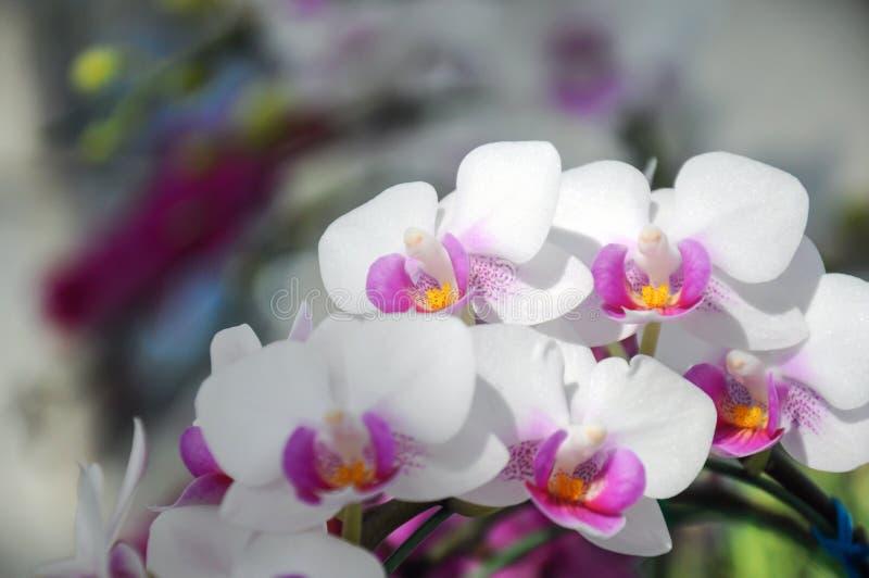 Biała orchidea w kwiacie przy Chiangmai kwiatu festiwalem 2019, Tajlandia zdjęcia royalty free