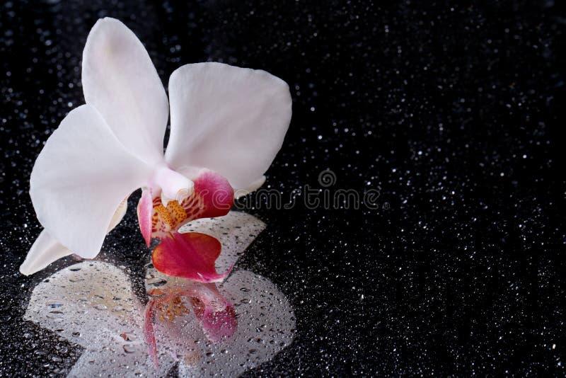 Biała orchidea z wod kroplami odizolowywać na czerni. Odbicie obrazy royalty free