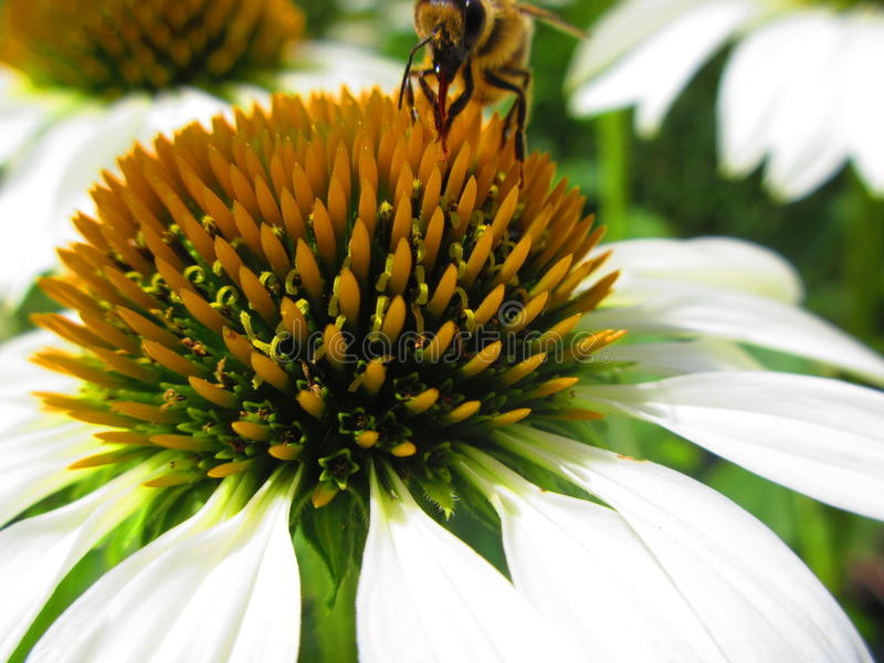 Biała płatek pszczoła i kwiat obrazy stock