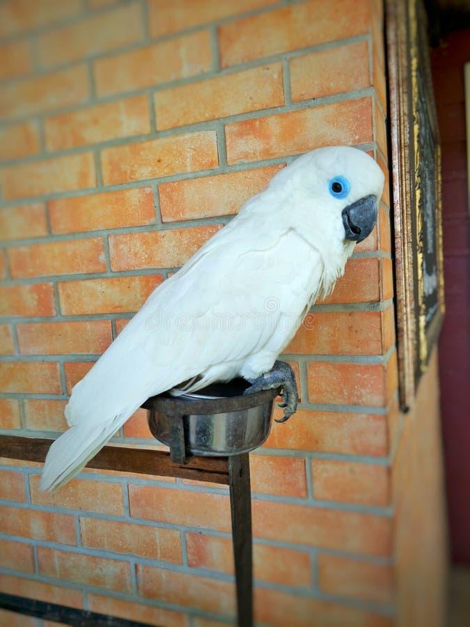 Biała papuga siedzi na metalu karmowym pucharze obrazy stock