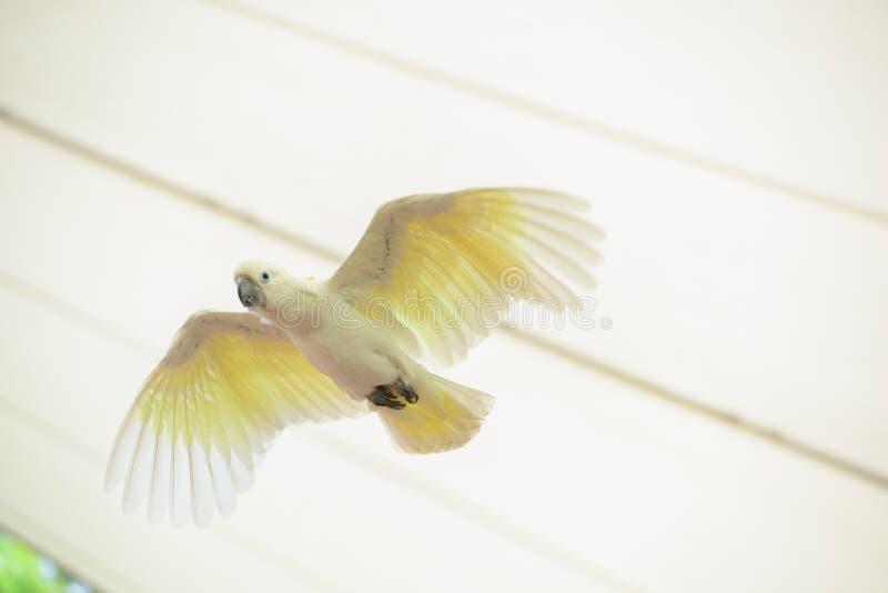 Biała papuga w locie z pełną skrzydłową piędzią fotografia stock