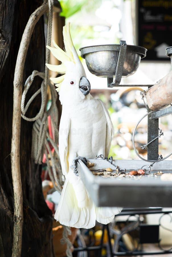 Biała papugi granica z łańcuchami przy domem obrazy stock