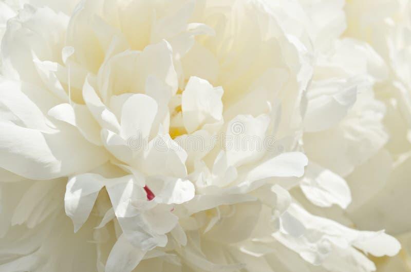 Biała peonia fotografia stock