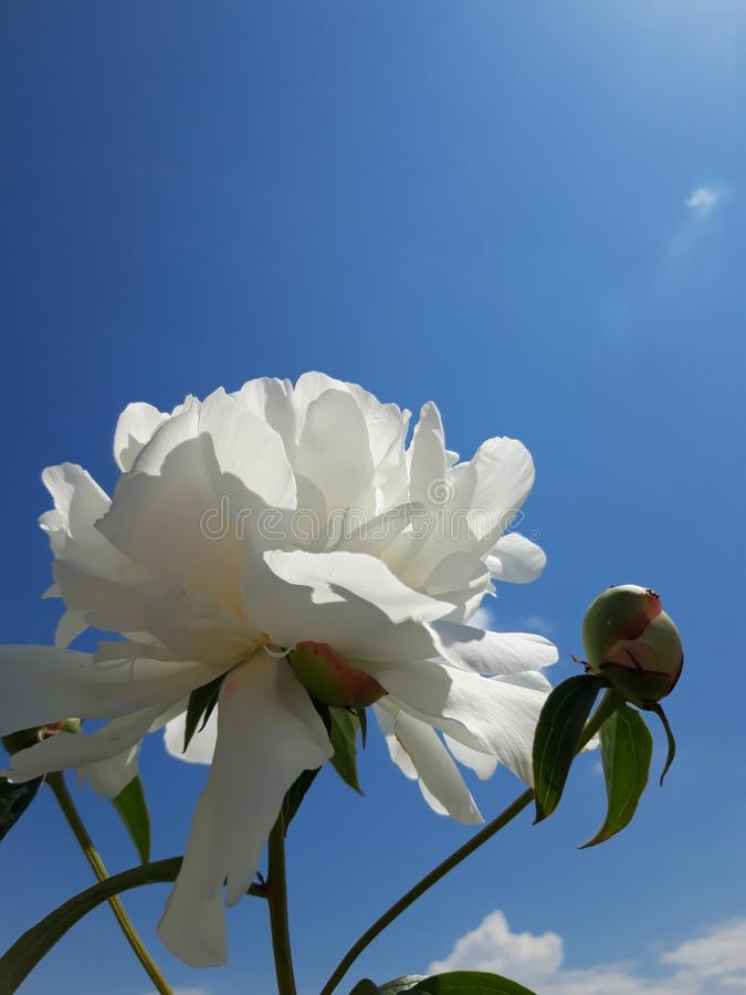 Biała peonia na niebieskim niebie obrazy stock