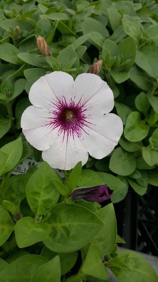 Biała petunia zdjęcia royalty free