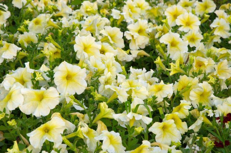 Biała petunia fotografia stock