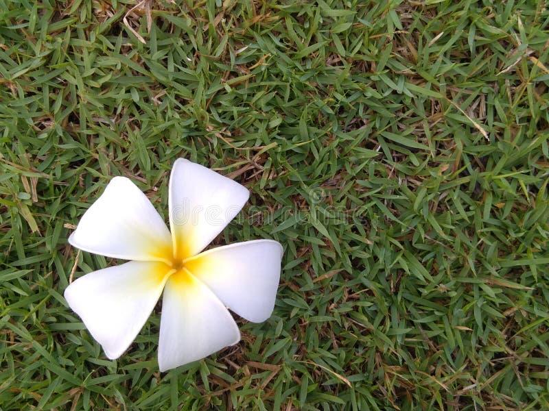 Biała Plumeria kwiatu tła natura zdjęcia stock