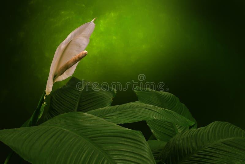 Biała pokój leluja, botaniczny imię: Spathiphyllum fotografia royalty free