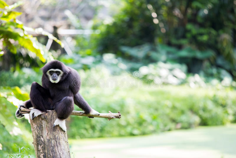 Biała ręka Gibbon fotografia royalty free