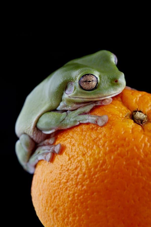 Biała ` s drzewna żaba zdjęcie stock