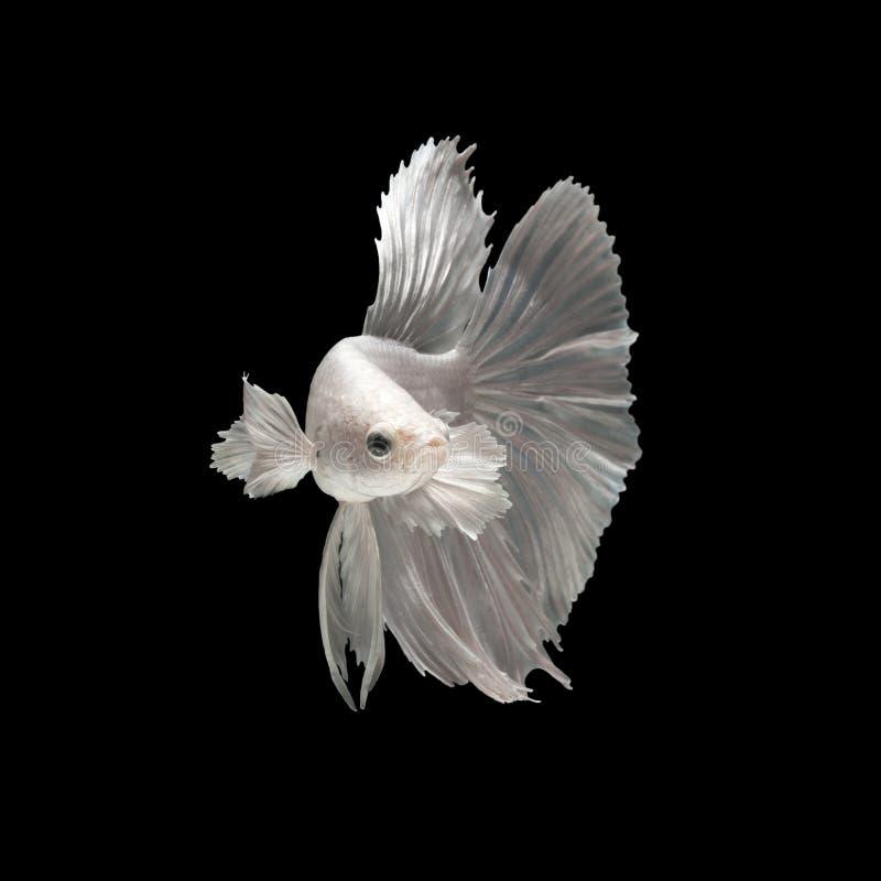 Biała siamese bój ryba zdjęcie stock