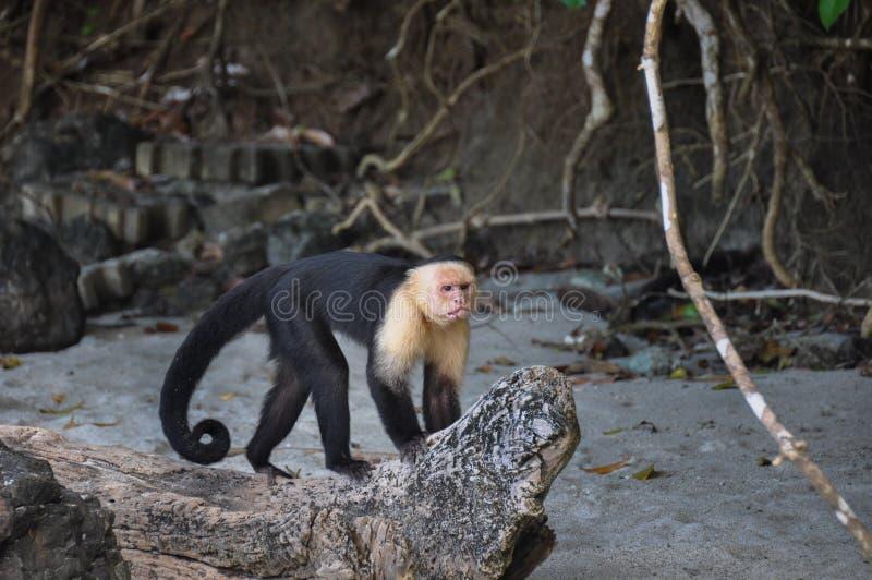 Biała Stawiająca czoło Capuchin małpa w Manuel Antonio parku narodowym, Cos zdjęcia stock