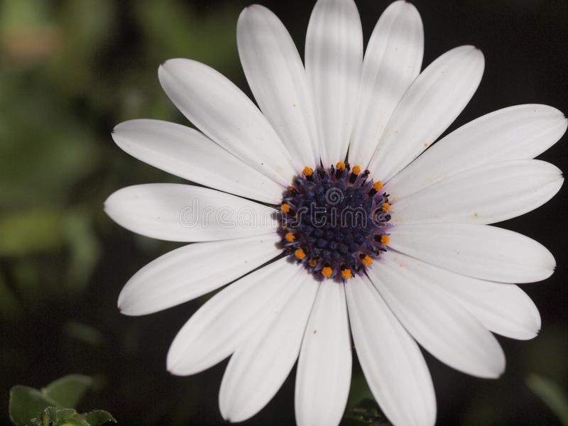 Biała stokrotka zdjęcie stock