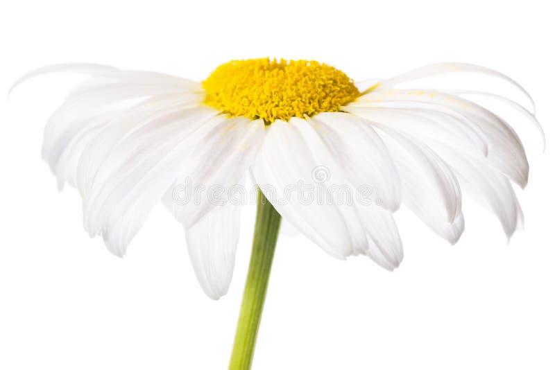 Biała stokrotka zdjęcia stock