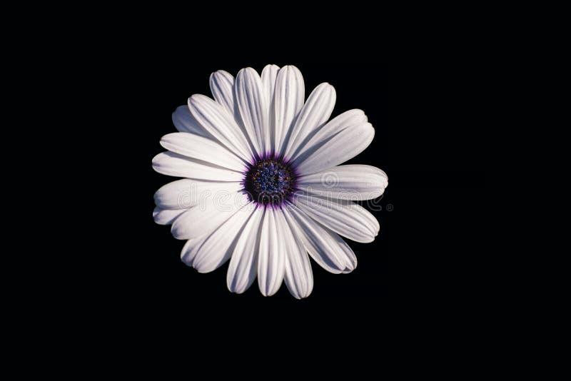 Biała stokrotka afrykańska lub Przylądek Daisy Osteospermum odizolowana od czarnego tła, widok z góry zdjęcia stock