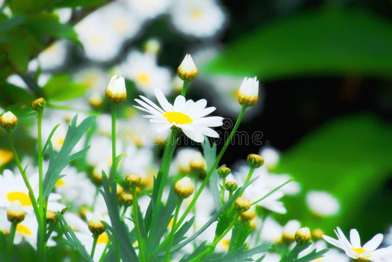 Biała stokrotka kwitnie Bellis Perennis fotografia royalty free